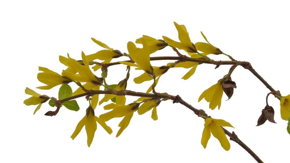 buske med gule blomster