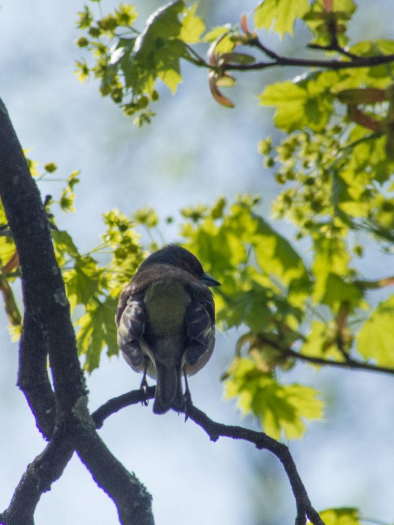Bokfink og andre fugler elsker store trær