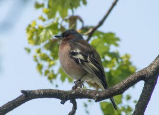 Bokfink hannfugl, vakker med blå, rød, svart, hvit og grønn fjærdrakt