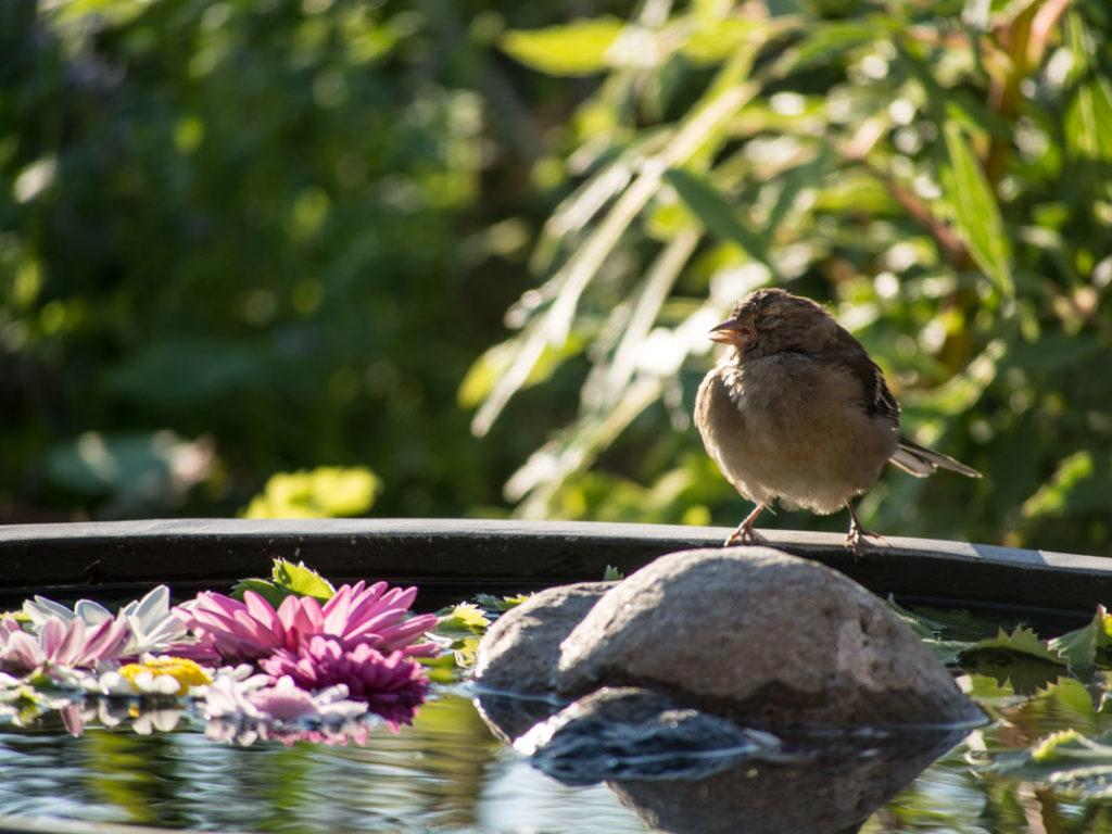 Bokfink hunne soler seg i hagens dam, en krukke med vann