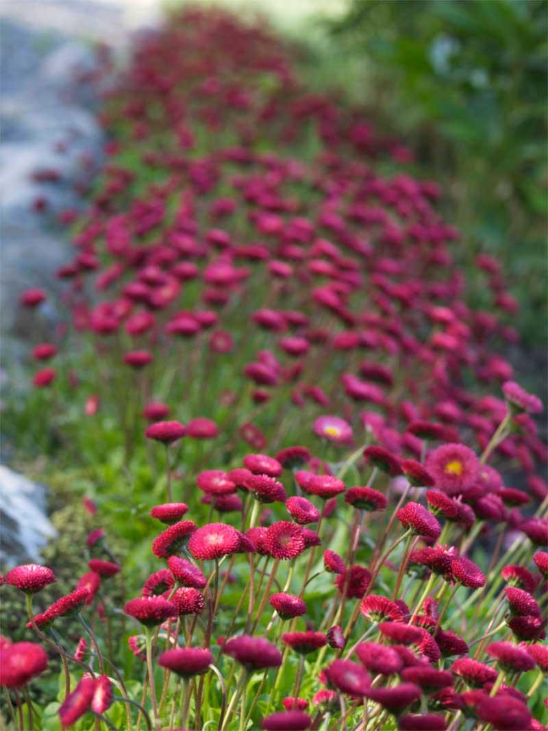 gamle stauder med blomst