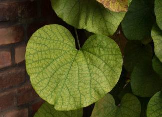 Bladene på pipeholurt er store og runde