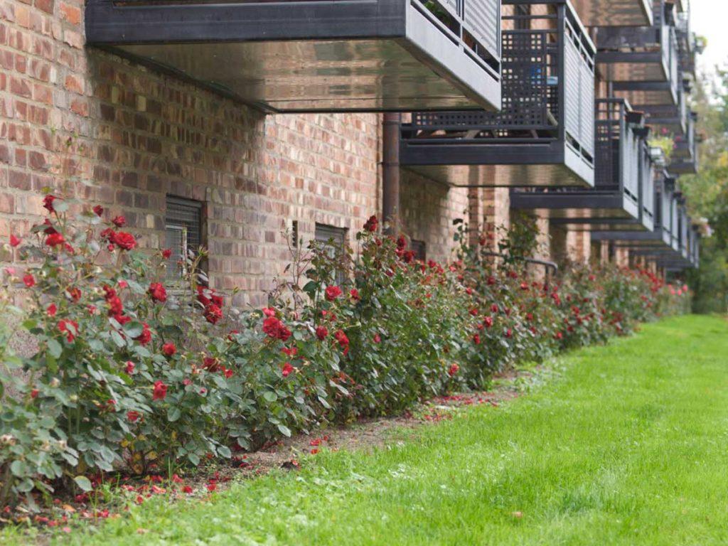 Roser som er plantet korrekt