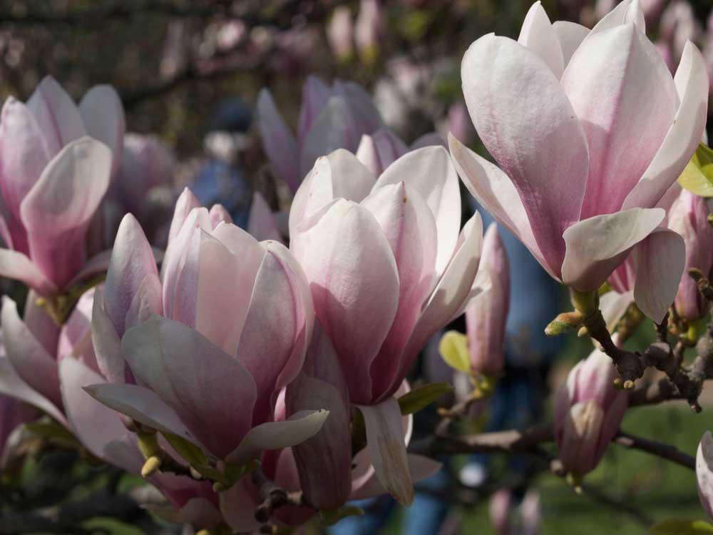 herdige magnolia som kan vokse i norge