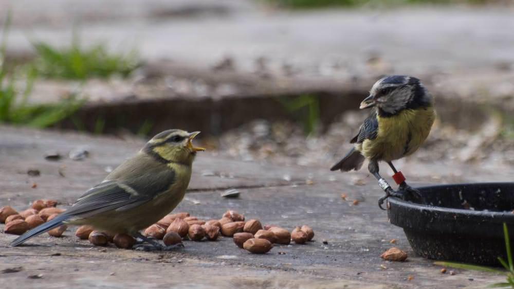 Blåmeisbarn tigger mat av forelder