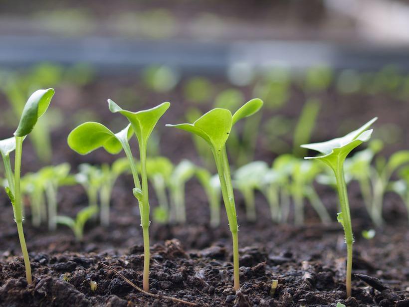 Rekker av småplanter som har spirt fra frø i hagen
