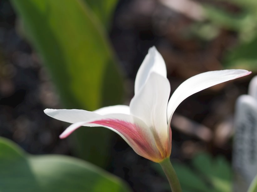 tulipa-Peppermint-stick3