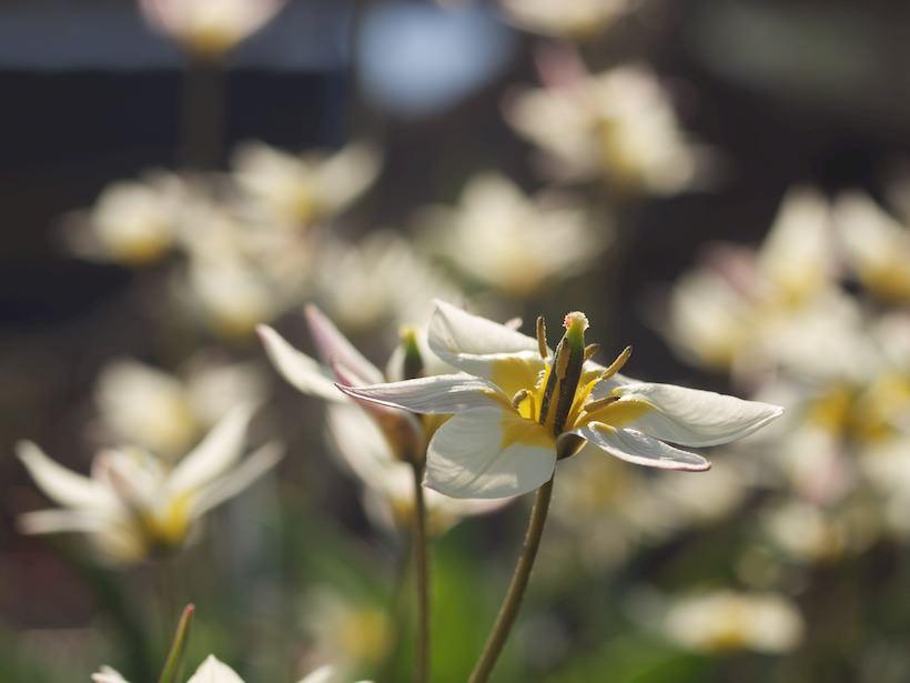 tulipa-turkestanica-8