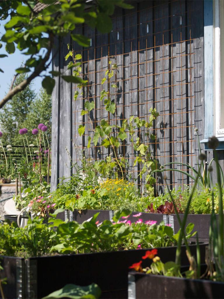 Pallekarmer i kjøkkenhagen, med druer voksende på armeringsnett mot vegg