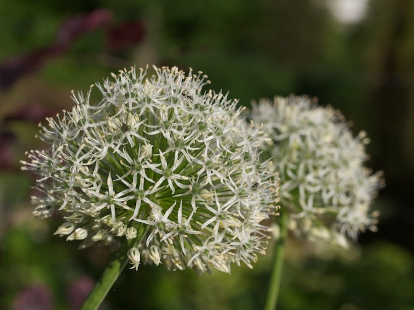 allium-mount-everest-1