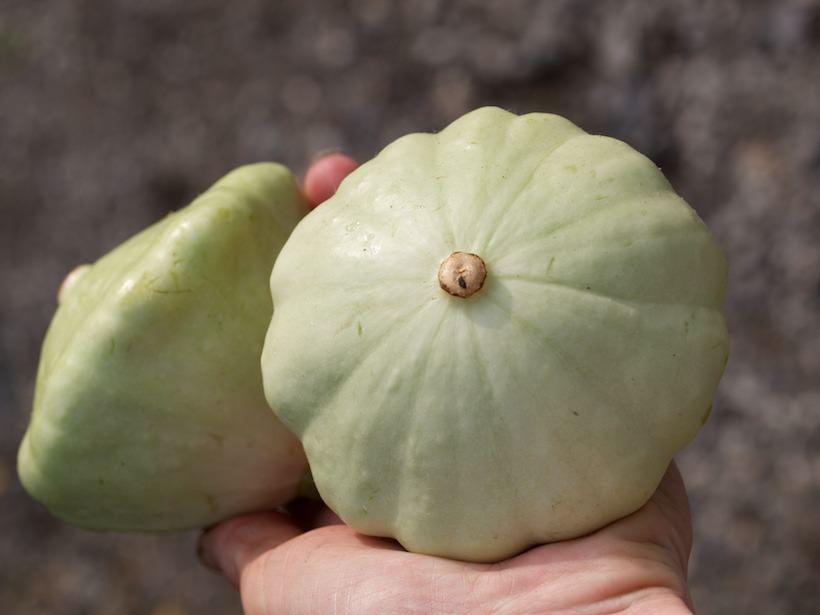Custard White er en squash som skapt for fylling og grilling