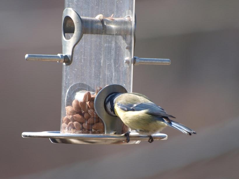 Blåmeis spiser peanøtter av fuglemater av typen rørmater