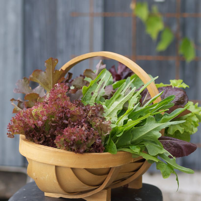 salat dyrket i kjøkkenhagen