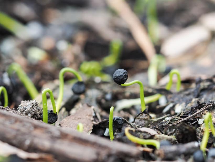 Allium som har sådd seg selv og spirer i hagen
