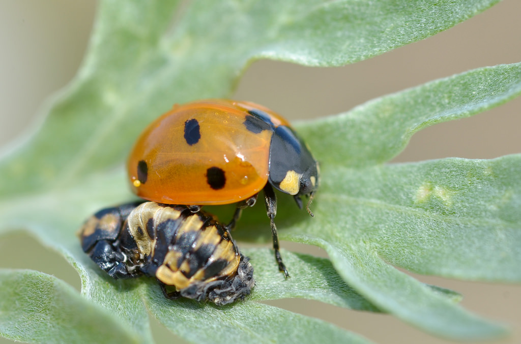 Coccinella septempunctata just after emergence