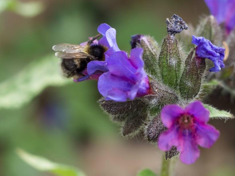 Blomst på lungeurt og liten humle