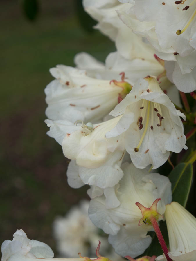 rhododendron-4