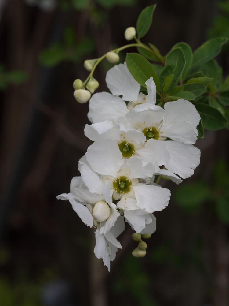 Perlebusk er en busk som blomstrer mai-juni med hvite blomster