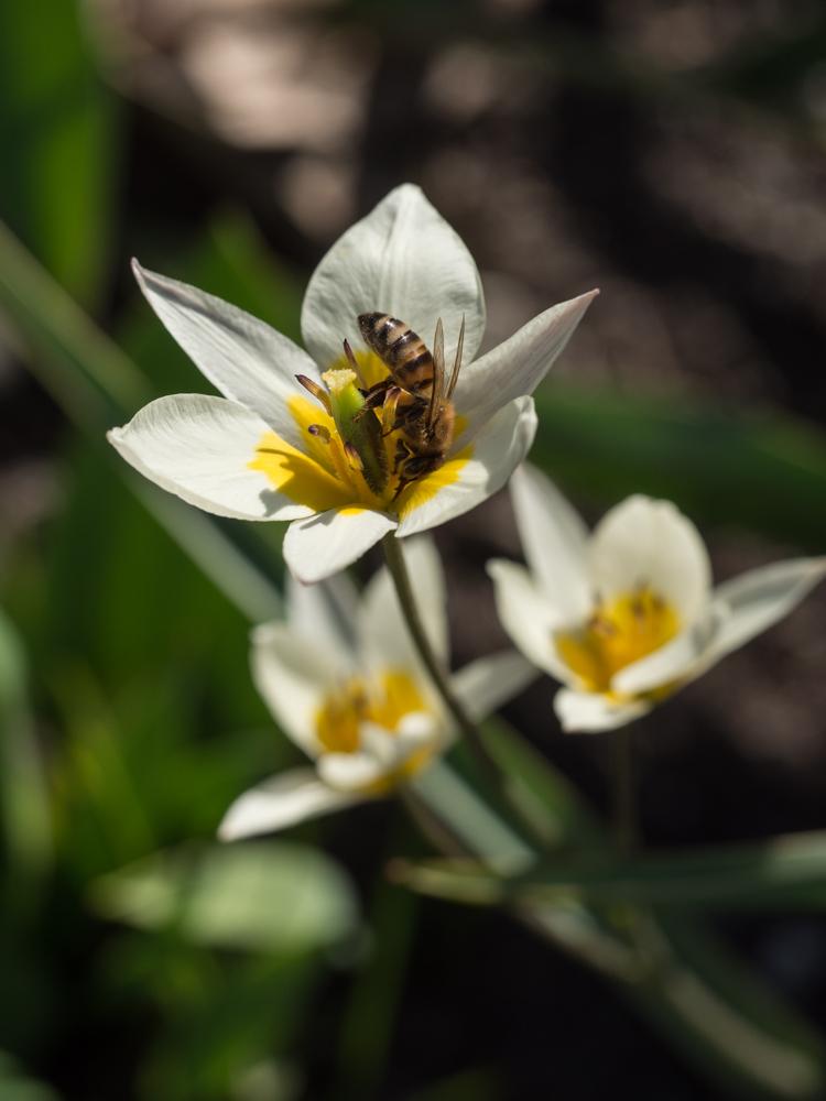 Hvorfor botaniske tulipaner er mine favoritter: - Moseplassen