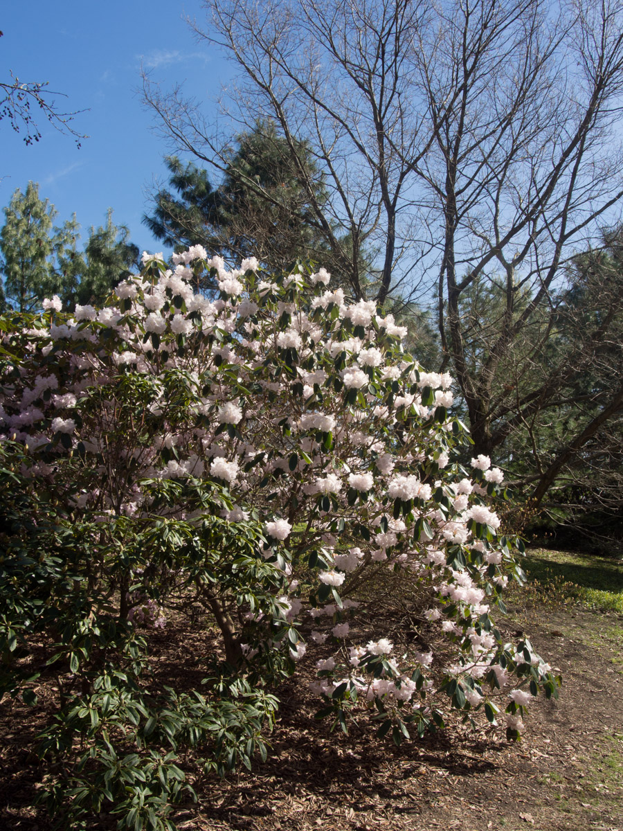 rhododendron-1
