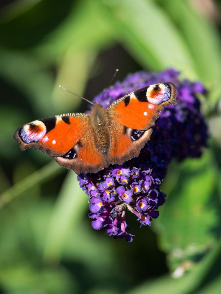 Sommerfuglbusk sommerfugl