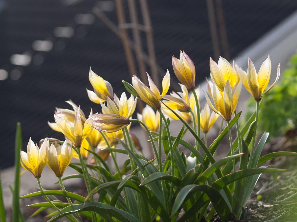 De villige tulipanene! - Moseplassen