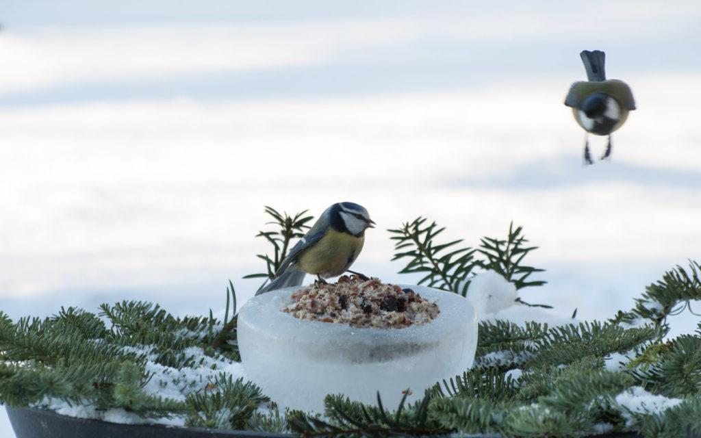 Meiseboller er flott fuglemat, her hjemmelaget servert på skål