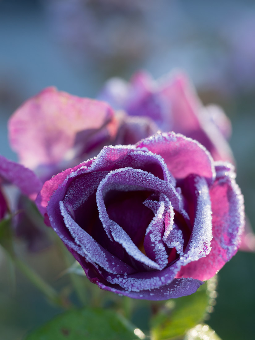rose-frost-4