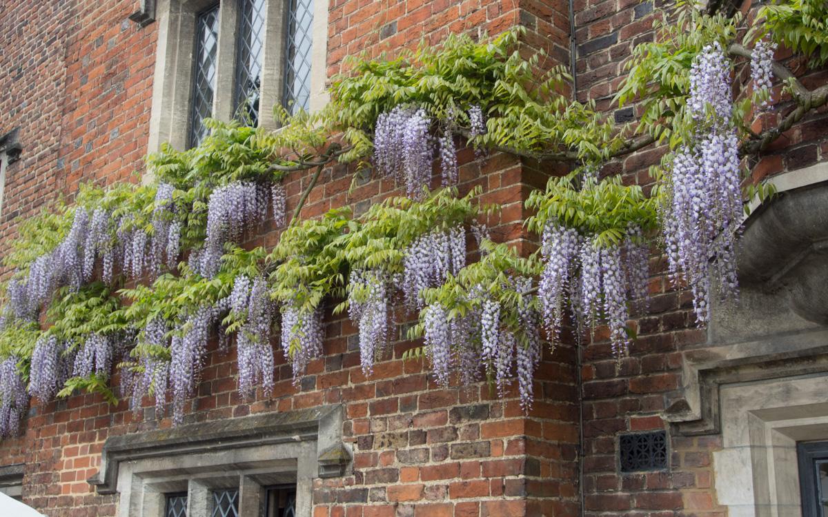 Blåregn, wisteria, mot murvegg