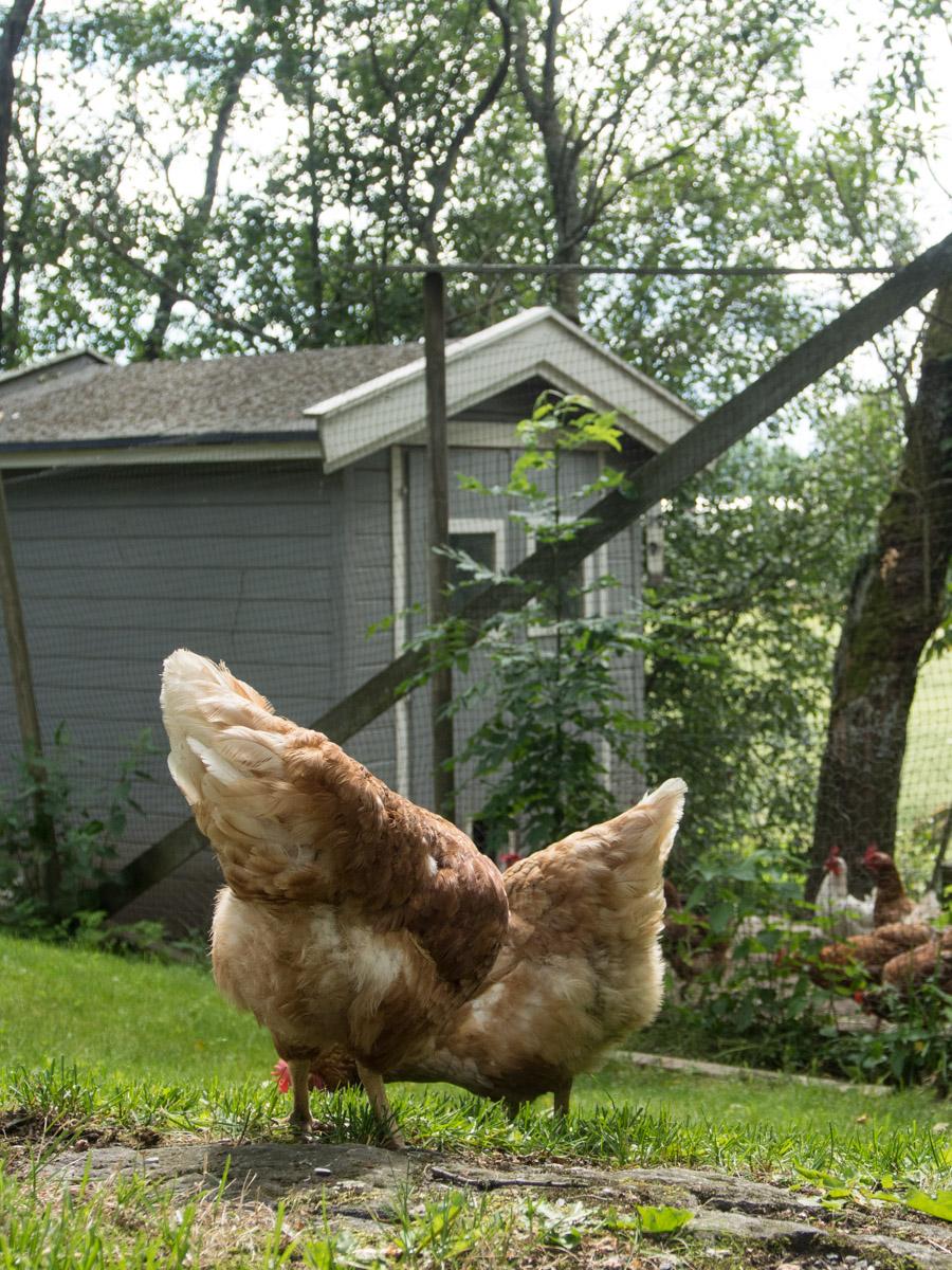 begynne med høner