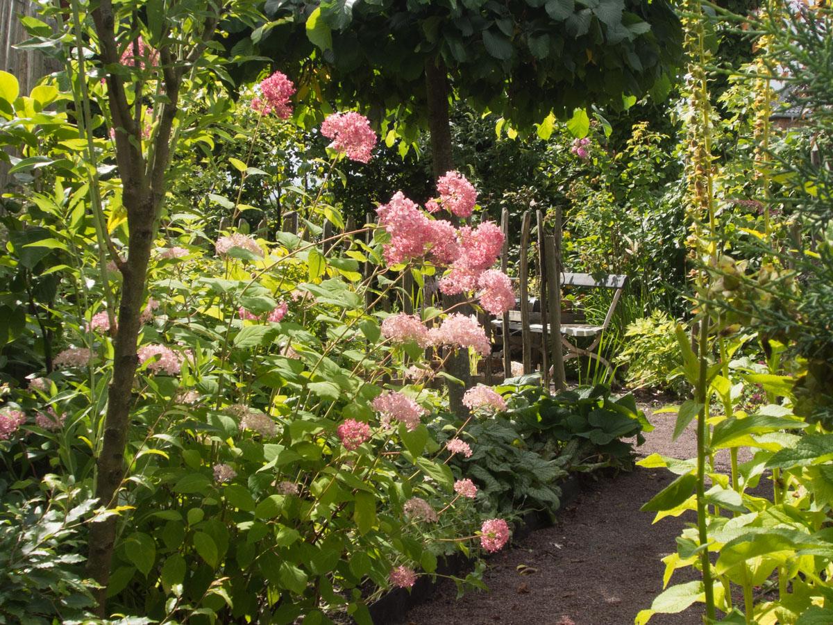 'Pink Annabelle' vierhortensia Hydrangea arborescens