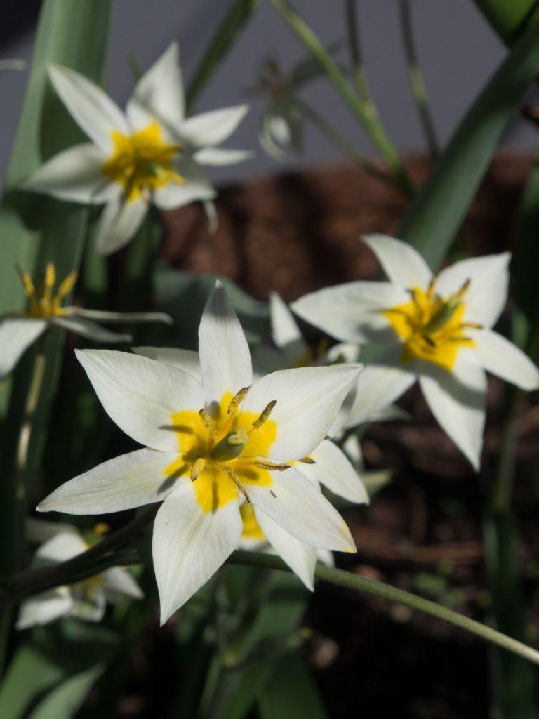 villtulipan Tulipa turkestanica sine blomster, hvite med gult senter