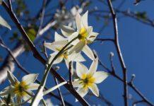 Tulipa turkestanica botanisk tulipan med magnolia