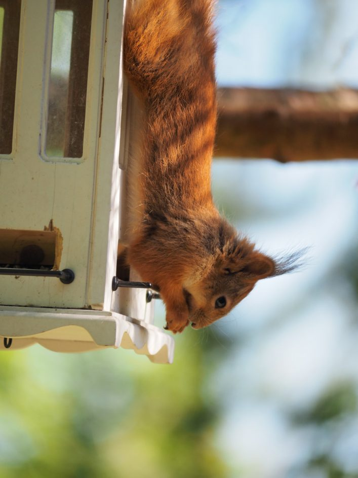 Løsningsorientert ekorn spiser fra fuglemater