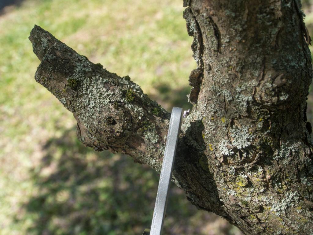 La det aldri stå igjen døde grenbiter når du beskjærer, de er sykdomsmagnet!