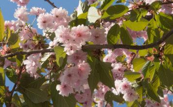 Rosa fylte blomster på tre, trolig japankirsebær