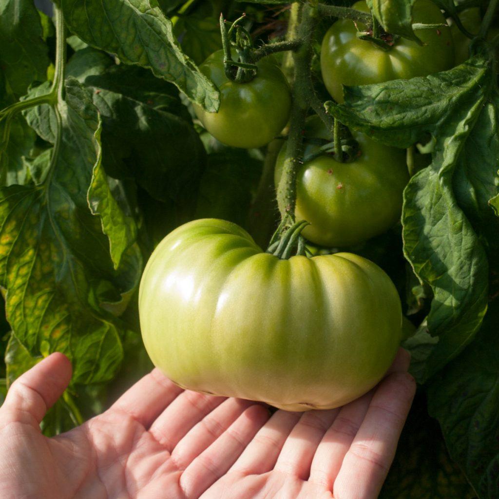 Bifftomater er gøy, men det er lettere å dyrke tomater som er mindre