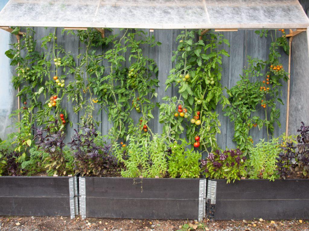 Det er ekstra lett å dyrke tomater i drivhus, dette veggdrivhuset er hjemmelaget, og tomatene står i pallekarmer.