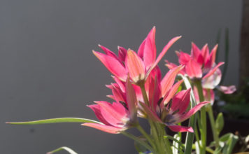 Botanisk tulipan 'Little Beauty', lav med rosa blomster