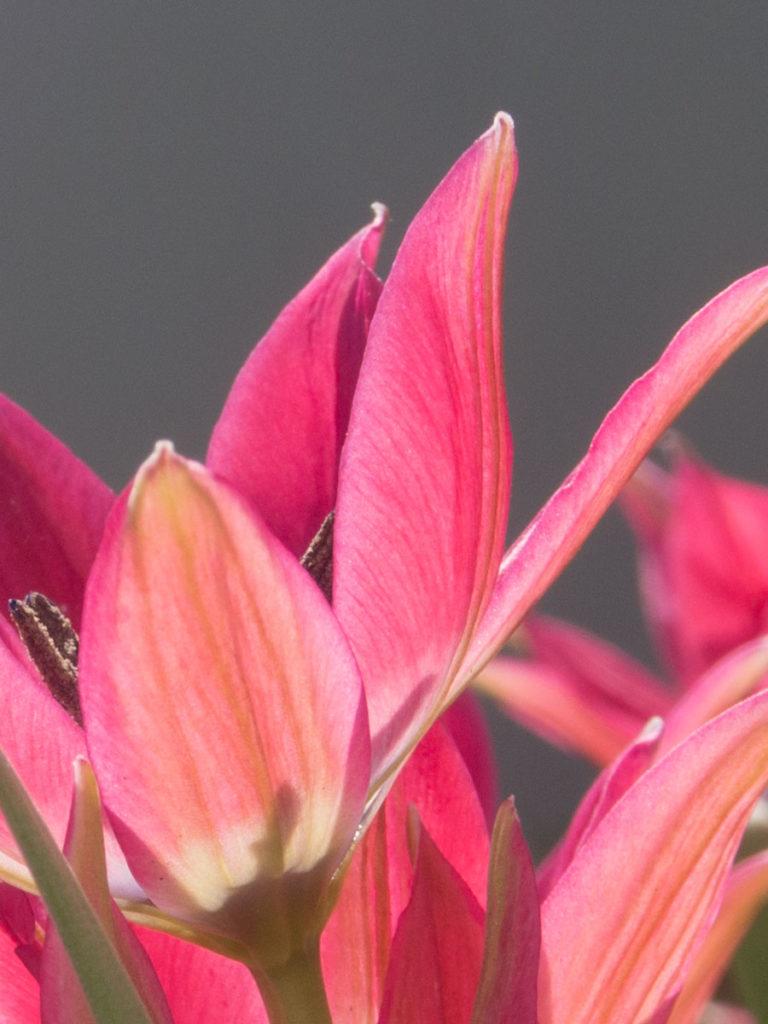 nærbilde av tulipan