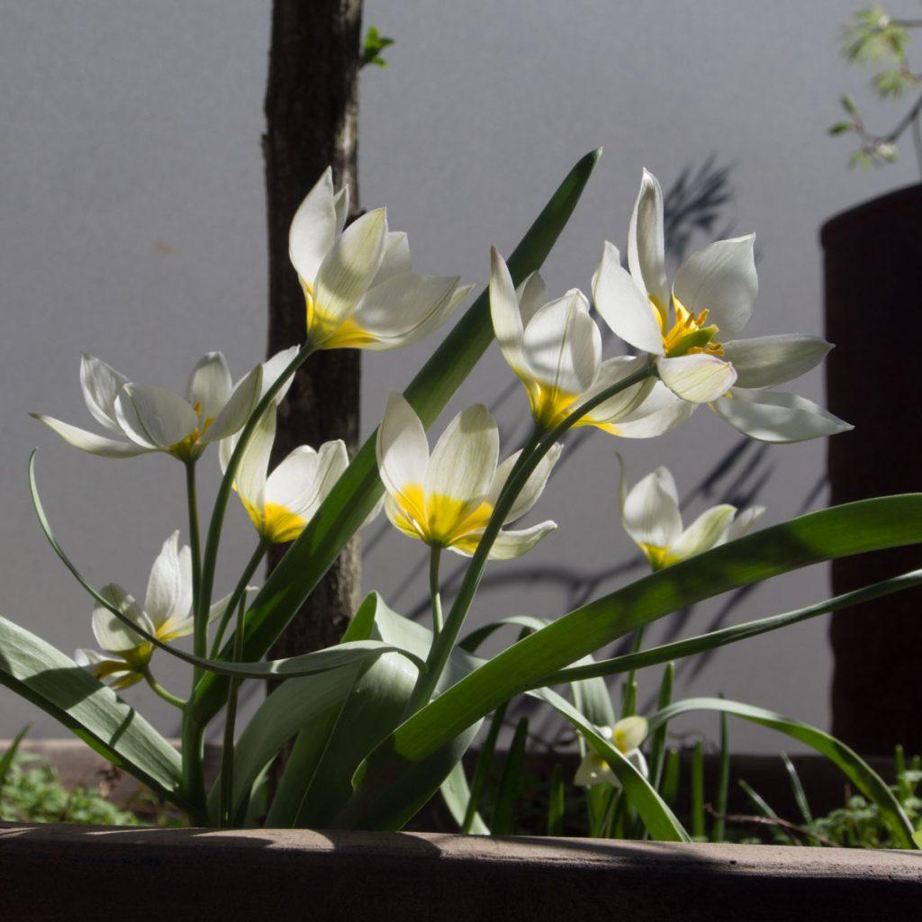Tulipa polychroma villtulipan med hvite og gule blomster