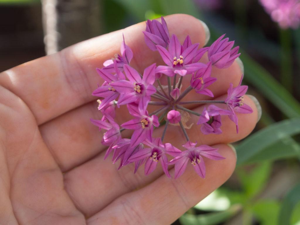 Allium Eros har et relativt lite blomsterhode, med stjerneformede rosa-lilla blomster