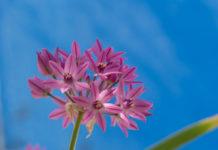 allium Eros, løk med rosa-lilla blomster