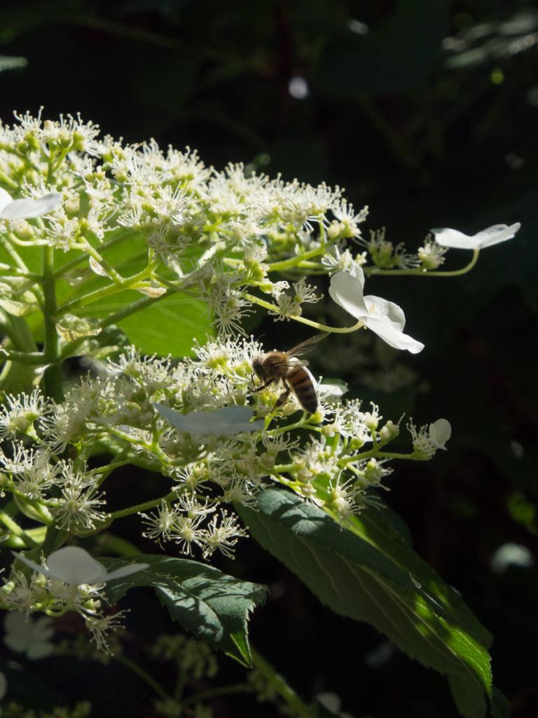 Klatrehortensia blomster og bie