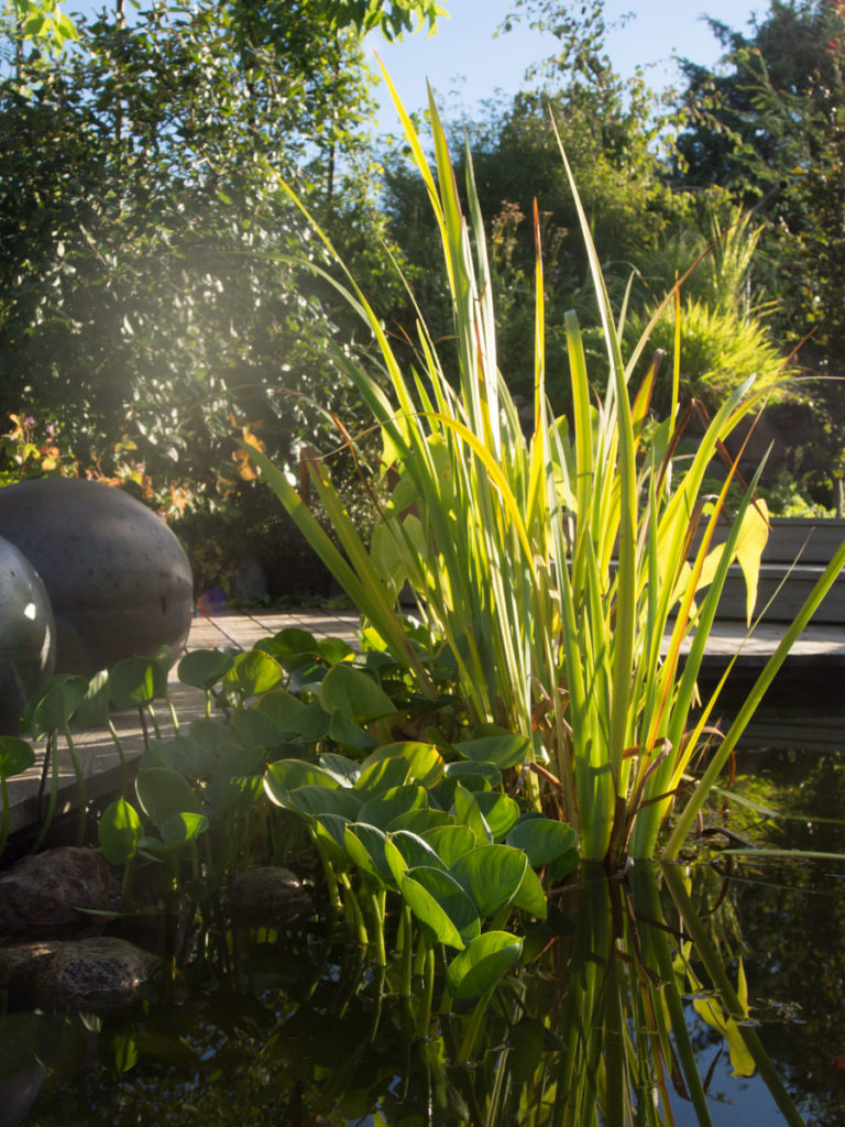 damplanter, blant annet sverdlilje og Calla palustris