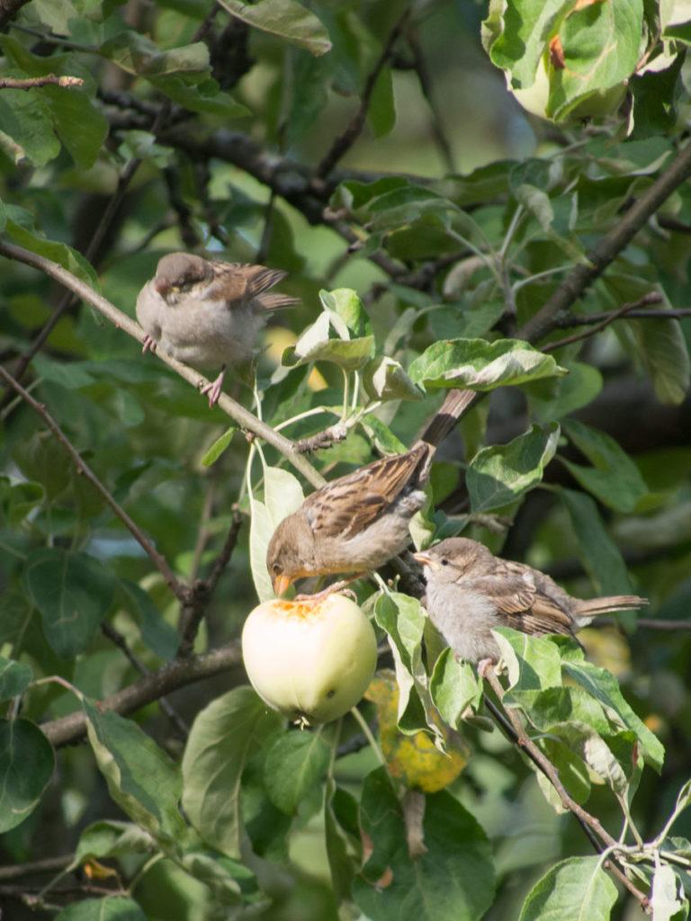 gråspurv spiser epler