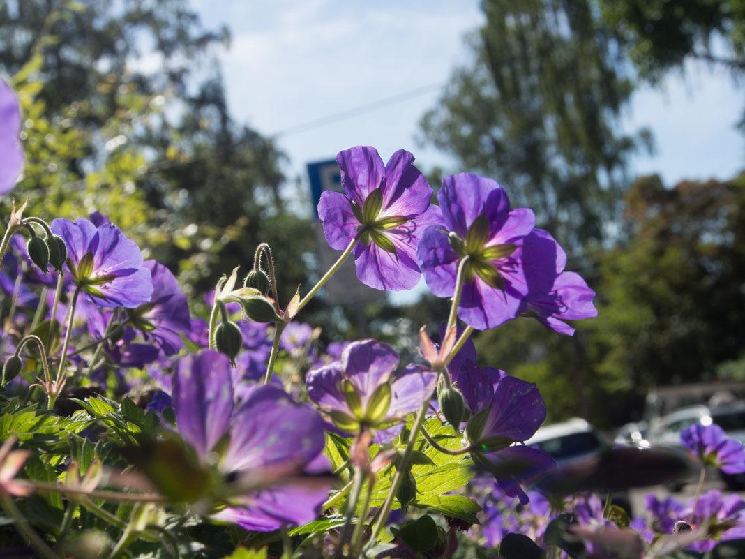storknebb 'Rozanne', staude med blå blomster