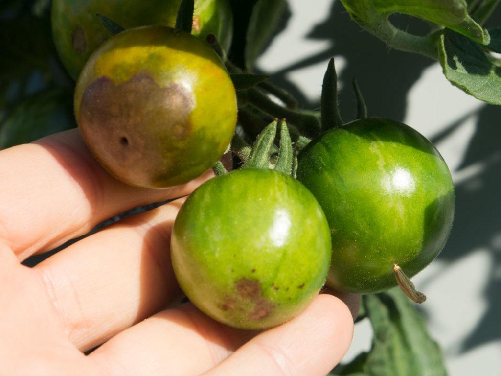 Griffelråte på tomat, en vanlig sykdom som kan unngås