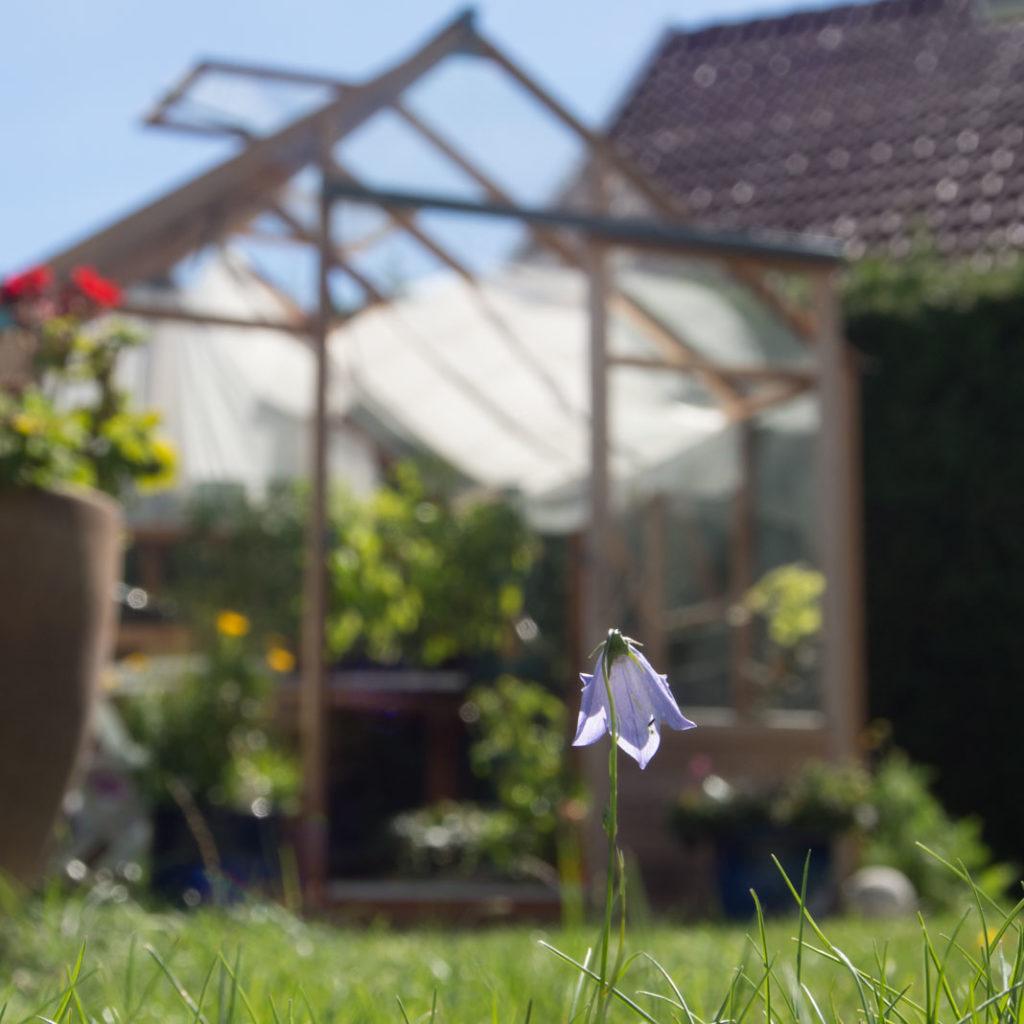 Drivhus i tre og gressplen med blåklokke