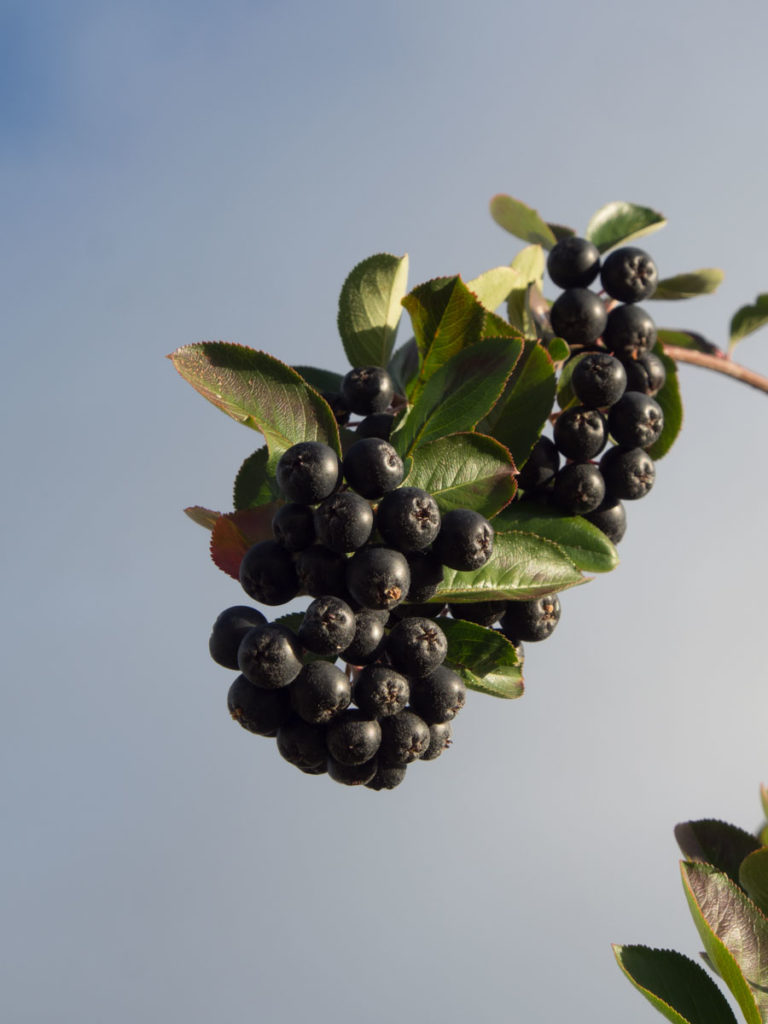Klase med bær på svartsurbær, aronia